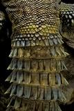 Uromastyx Ornata (Ornate Mastigure, Ornate Dabb Lizard) - Tail Photographic Print by Paul Starosta