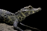 Osteolaemus Tetraspis (Dwarf Crocodile) Photographic Print by Paul Starosta