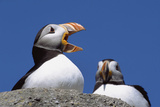 Atlantic Puffins, One Gaping, Newfoundland, Canada Photographic Print by Momatiuk - Eastcott