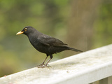 Male Blackbird Sitting on a Garden Rail in the Rain Photographic Print by Ashley Cooper