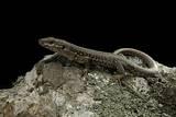 Podarcis Muralis (Common Wall Lizard) Papier Photo par Paul Starosta