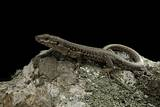 Podarcis Muralis (Common Wall Lizard) Photographic Print by Paul Starosta