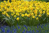 Jetfire Narcissus Reproduction photographique par Mark Bolton