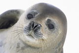 Face of Crabeater Seal Photographic Print by Momatiuk - Eastcott