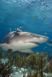 Lemon Shark in the Bahamas Photographic Print by Stephen Frink