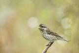 Side View of Female Purple Finch Perching on Branch Photographic Print by Gary Carter