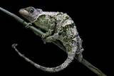 Chamaeleo Johnstoni (Johnston's Chameleon) - Shedding its Skin Photographic Print by Paul Starosta