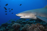 Lemon Shark in French Polynesia Photographic Print by Stephen Frink