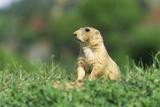 Black-Tailed Prairie Dog in Wyoming Fotografisk tryk af Momatiuk - Eastcott