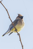 Cedar Waxwing Photographic Print by Gary Carter