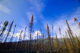 Burned Black Spruce Trunks and Sky Photographic Print by Momatiuk - Eastcott