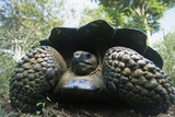 300 Pound Wild Galapagos Tortoise Photographic Print by W. Perry Conway