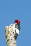 View of Red-Headed Woodpecker Photographic Print by Gary Carter
