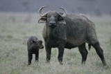 African Buffalo and Calf Photographic Print by Arthur Morris