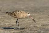 Side View of Marbled Godwit Photographic Print by Gary Carter