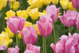 Mirella Tulips Fotografiskt tryck av Mark Bolton