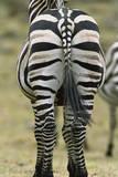 Zebra's Hindquarters Photographic Print by Momatiuk - Eastcott