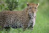 Leopard Watching, Lake Nakuru in Kenya Photographic Print by Momatiuk - Eastcott