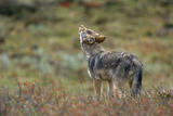 Young Gray Wolf Pup Howls in Tundra Photographic Print by Momatiuk - Eastcott