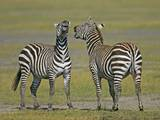 Pair of Zebras Photographic Print by Arthur Morris