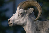 Stone Sheep Ram Photographic Print by Momatiuk - Eastcott
