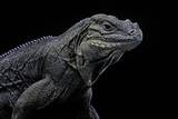 Cyclura Cornuta (Rhinoceros Iguana) Photographic Print by Paul Starosta