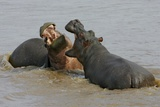 Two Hippopotami Fighting in Water Photographic Print by Arthur Morris