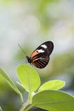 Postman Butterfly Sitting on Leaf Photographic Print by Gary Carter