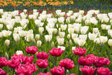 Queen of Marvel and Christmas Marvel Tulips Fotoprint av Mark Bolton
