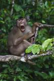 Stump-Tailed Macaque (Macaca Arctoices) Photographic Print by Craig Lovell