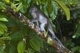 Long-Tailed Macaque (Macaca Fascicularis) Photographic Print by Craig Lovell