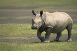 White Rhinoceros Walking Photographic Print by Momatiuk - Eastcott