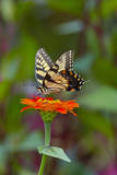 Swallowtail Butterfly Photographic Print by Gary Carter