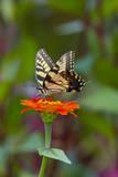Swallowtail Butterfly Lámina fotográfica por Gary Carter