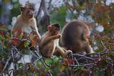 Stump-Tailed Macaques (Macaca Arctoices) Photographic Print by Craig Lovell