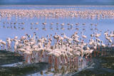 Flock of Lesser Flamingoes Photographic Print by Momatiuk - Eastcott