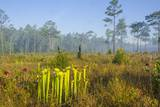 Pitcher Plant Bog and Pine Forest Photographic Print by Gary Carter
