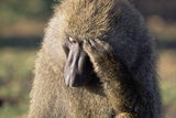 Olive Baboon Male Looking Pensive Photographic Print by Momatiuk - Eastcott