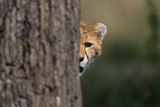 Cheetah Cub Hiding behind Tree Trunk Photographic Print by Momatiuk - Eastcott