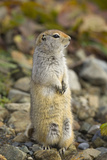 Black Tailed Prairie Dog Photographic Print by Momatiuk - Eastcott