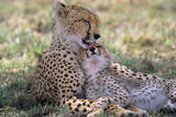 Cheetah Mother Licks Her Young Cub Impressão fotográfica por Momatiuk - Eastcott