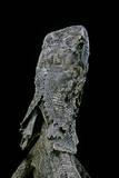Chlamidausaurus Kingi (Frilled Lizard) Photographic Print by Paul Starosta