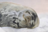 Weddell Seal Sleeping Photographic Print by Momatiuk - Eastcott