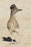 Greater Roadrunner Photographic Print by Hal Beral
