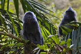 Troupe of Silvery Lutung or Silvered Leaf Monkeys (Trachypithecus Cristatus) Photographic Print by Craig Lovell