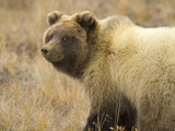 Grizzly Bear Cub in Tundra Photographic Print by Momatiuk - Eastcott
