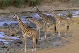 Masai Giraffes Alert on River Bank Photographic Print by Momatiuk - Eastcott