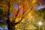 Sunlight Shining through Sugar Maple Leaf Canopy Photographic Print by Momatiuk - Eastcott