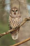 Barred Owl on Tree Branch Photographic Print by Gary Carter