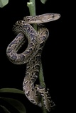 Epicrates Angulifer (Slender Boa, Cuba Tree Boa) Photographic Print by Paul Starosta